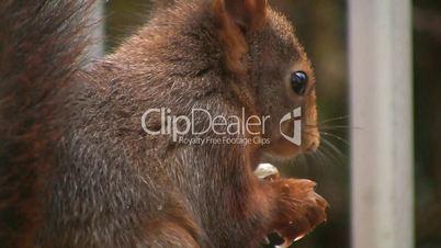 Eichhörnchen frisst Haselnuss