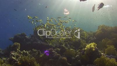 shoal of tropical fish backlit by low sun