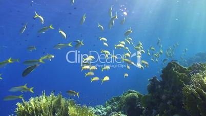 Shoal of tropical fish moving along the reef