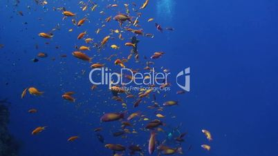 tropical fish on blue background