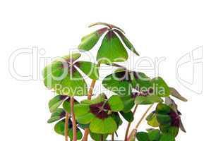 Glücksklee - four leafed clover 14