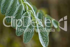 grünes Blatt mit Reif