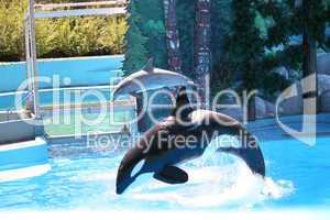Killer Whale and A Dolphin