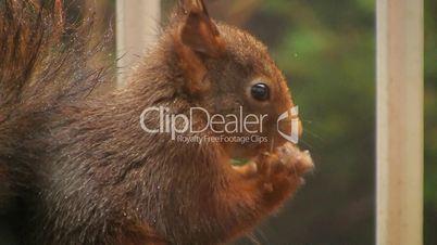 Eichhörnchen mit Haselnuss