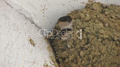 HD Swallow feeding nestlings, closeup