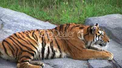 Siberian Tiger Alerted by Prey