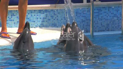 HD Dolphins and Animal Trainer, closeup