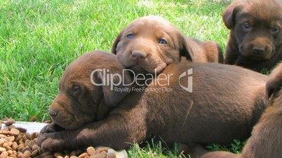 Lab Puppies Resting