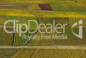 Weinberg - vineyard 21