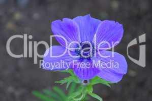Gartenanemone - poppy anemone 01