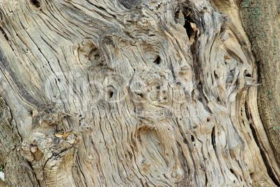 Olivenbaum Stamm - olive tree trunk 03: Lizenzfreie Bilder