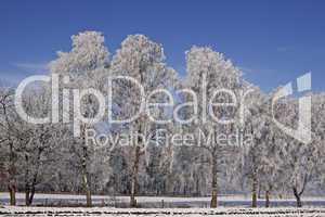 Birken im Winter, Bad Laer, Osnabrücker Land, Niedersachsen - Birches on a field in winter, Bad Laer, Osnabruecker land, Lower Saxony, Germany