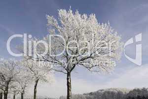Bäume mit Rauhreif in Hilter, Osnabrücker Land, Niedersachsen - Trees with hoarfrost in Hilter, Osnabruecker land, Lower Saxony, Germany, Europe