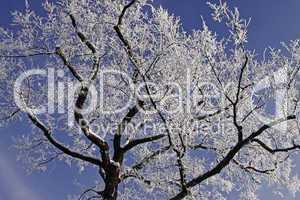 Laubbaum mit Rauhreif im Winter, Niedersachsen, Deutschland - Tree with hoarfrost in winter, Lower Saxony, Germany, Europe