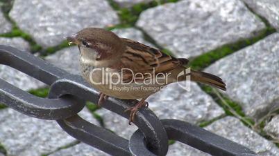 Spatz - Sparrow