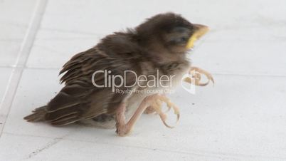 Little baby sparrow fallen from the nest