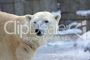 Eisbär,Polar bear