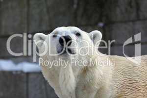Eisbär,Polarbear