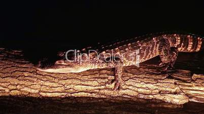Alligator Crawling On Log