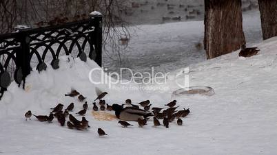 duck and sparrow feed on snow