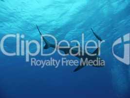 Riffhaie im Great Barrier Reef