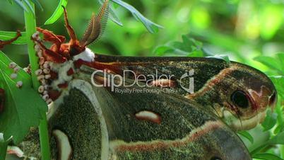 Male Cecropia Moth