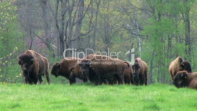American Buffalo Grazing