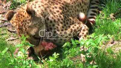 Cheetah Eating Raw Meat