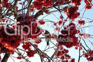 Vogelbeerbaum