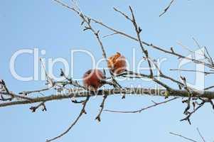 Übergebliebene Äpfel