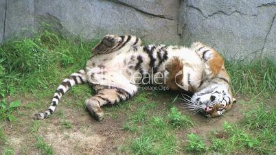Tiger Rolls Over