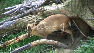Muntjac Deer Grazing