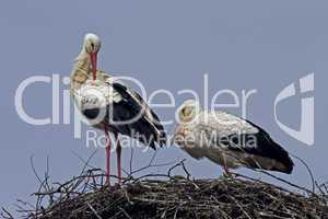 Weißstörche am Nest  ciconia ciconia