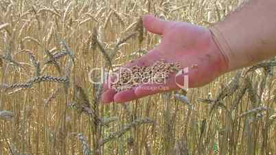 Hand Sifting Wheat