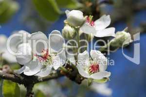 Birnblütenzweig
