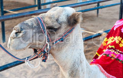 Portrait of egyptian camel in harness