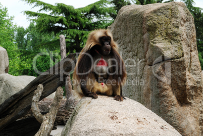 Ape with red skin sitting on the rock