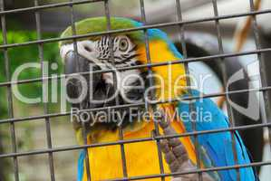 Macaw parrot trapped behind the iron bars