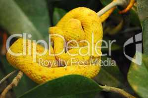 Vibrant yellow snake on the tree