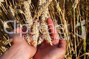 Handful of wheat spikes