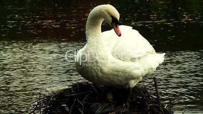 Adult swan preening its feathers
