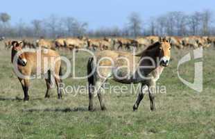 wild horse-tarpan