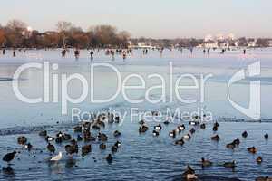 Außenalster in Hamburg. Im Vordergrund offene Wasserflächen mit Enten und Blässrallen, im Hintergrund Menschen auf dem Eis.