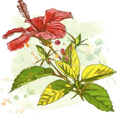 Hibiscus flower - vector watercolor paint