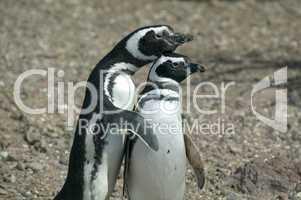Couple of Magellanic Penguins