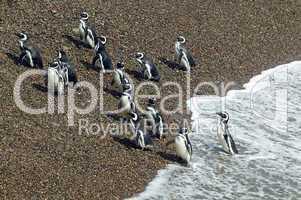 Group of Magellanic Penguins leaving the ocean