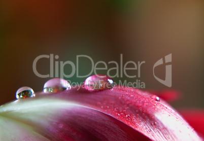 Tautropfen auf Tulpenblüte