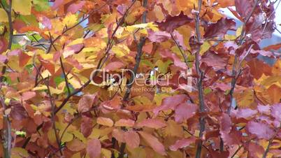 Brown autumn hedge