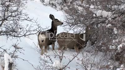 Mule Deer in deep snow oak brush