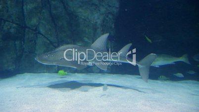 Shark Ray Swimming 02